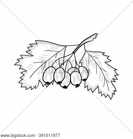 Hawthorn Illustration, Isolated On White. Whitethorn Berry Branch Sketch. Haw Hand Drawn Vector. Haw