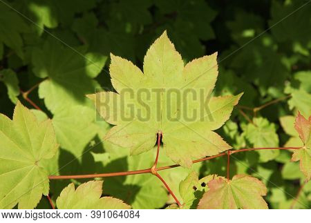 Vine Maple (acer Circinatum) Leaves In Ross Lake National Recreation Area, Washington