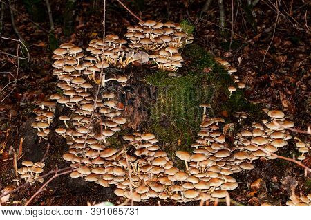 Poisonous Sulphur Tuft Mushrooms Growing On A Tree Stump In Autumnal Forest