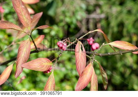 Close-up Of An Empty Red Flower Of A Common Spindle Shrub, Euonymus Europaeus