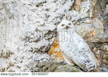 Close Up Of Snowy Owl Or Bubo Scandiacus In Captivity