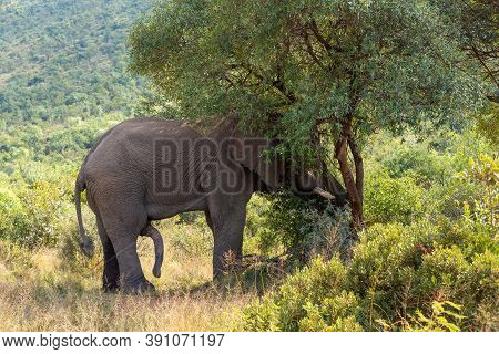 Horny Majestic Wild African Elephant Ready For Mating In Pilanesberg Game Reserve. South Africa Wild