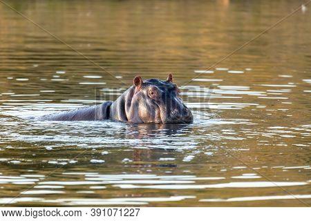 Hippo, Hippopotamus Hippopotamus Amphibius, In Natural Habitat Pilanesberg National Park, South Afri