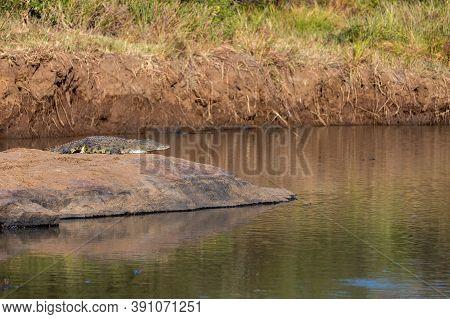 Nile Crocodile, Crocodylus Niloticus, Resting Next To The River, Catching Some Sun, Pilanesberg Nati