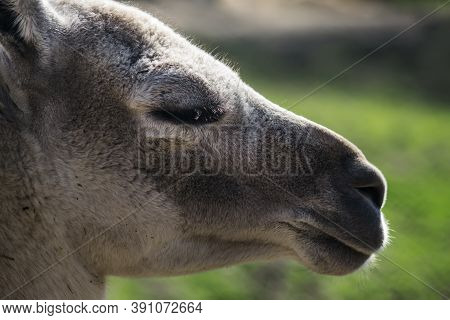 Guanaco Portrait On The Background Of Spring Nature. Close-up. Unrecognizable Place. Selective Focus