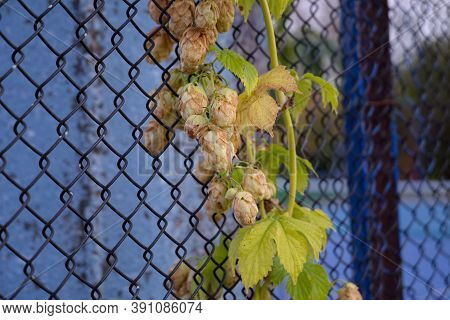 Hop Plant Decorative And Industrial For Decoration Of External Interiors And Production. Hops Are Us
