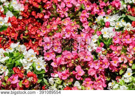 Many Small Red, Pink And White Begonia Flowers With Fresh Green Leaves In A Pot In A Garden In A Sun
