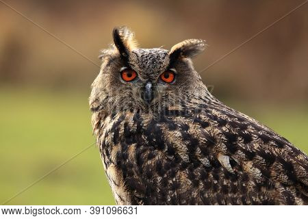 The Eurasian Eagle-owl (bubo Bubo) Portrait With Green And Brown Background