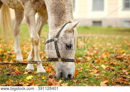 A Horse With White And Gray Hair Eats Green Grass In A Meadow.the Face Of An Animal In The Stable.ye