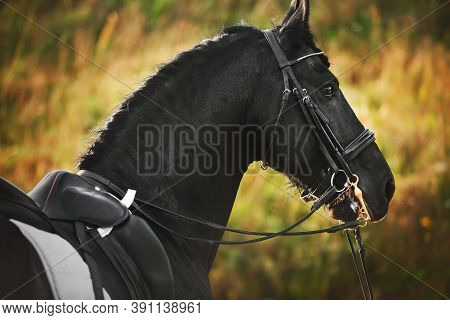 Portrait Of A Beautiful Friesian Horse With A Bridle On Its Muzzle And A Saddle On Its Back, Illumin