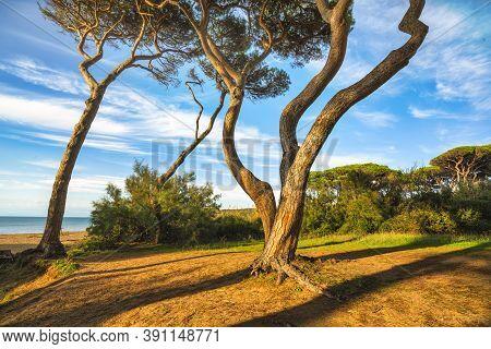 Pine Trees At Sunset In Maremma. Baratti Beach And Sea, Piombino, Tuscany, Italy