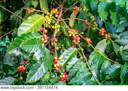 Bunch Of Colorful Arabica Coffee Fruit On Branches Of Coffee Tree. The Coffee Fruits Contain Large A