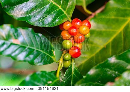 Closeup Of Ripe And Unripe Arabica Coffee Fruits On A Branch Of Coffee Tree. Coffee Tree Is In Genus