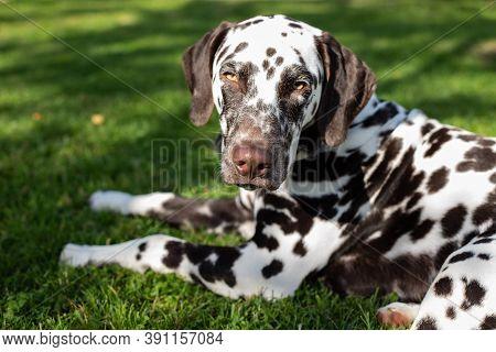 Portrait Of Beautiful Dalmatian Bitch On The Garden.cute Puppy Dalmatian For A Walk In The Park.summ
