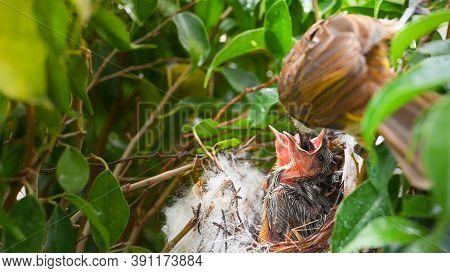 Mother Bird Feeding Bapy Birds In A Nest Of Yellow-vented Bulbul (pycnonotus Goiavier), Or Eastern Y