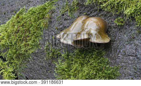 The Olive Oysterling (panellus Serotinus) Is An Edible Mushroom