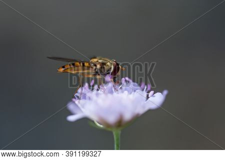 A Macro Shot Of A Honeybee Collecting Nectar And Pollen From A Purple Flower Isolated On A Gray Back