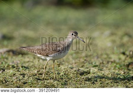 Solitary Sandpiper (tringa Solitaria) Looking For Food Among The Vegetation Of A Shallow Marsh