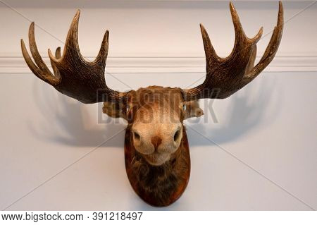 Close Up Of Stuffed Moose Head On Wall