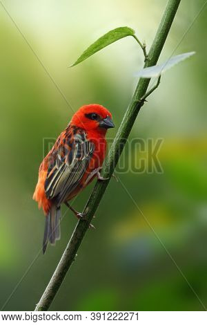 The Red Fody (foudia Madagascariensis) Seated On The Branch