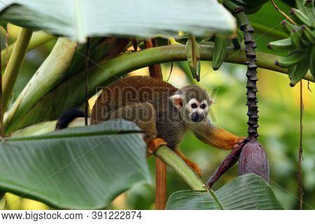 The Common Squirrel Monkey (saimiri Sciureus) On Banana Tree