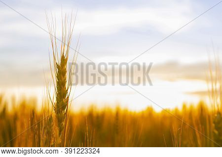 Wheatfield Of Gold Color In Sunset.golden Sunset Over Wheat Field
