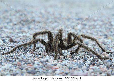 Desert Tarantula #1