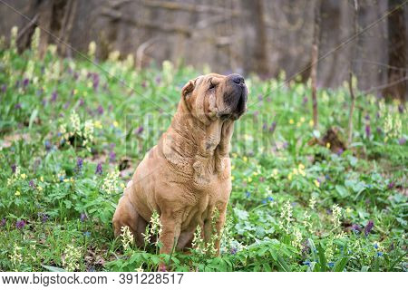The Dog Is A Purebred Shar-pei In The Woods. Red Cheerful Dog , Spring Forest With Flowers