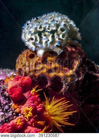Elysia Crispata, Common Name The Lettuce Sea Slug, Is A Large And Colorful Species Of Sea Slug, A Ma