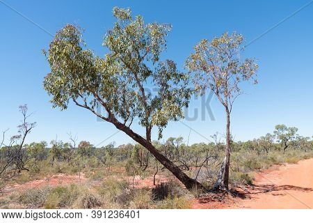 Red Soil Road With Native Eucalyptus Or Gum Trees On Road To Sawpit Gorge In White Mountains Nationa
