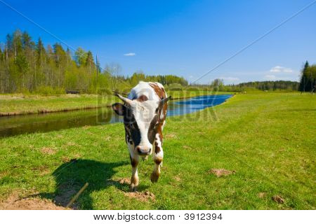 The Small Bull