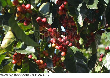 Coffee Grains Of Varying Degrees Of Ripeness On The Branches Of Coffee Bushes On A Plantation In Cos