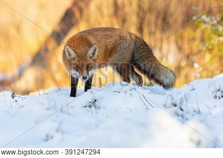 Attentive Red Fox Crouching On Meadow In Winter.
