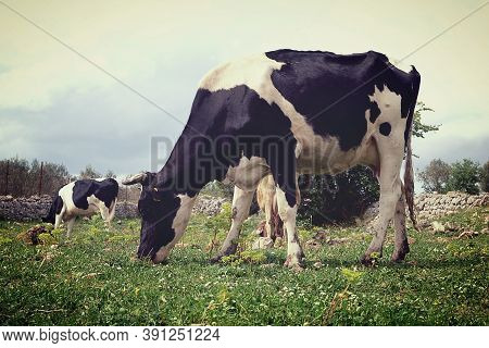 Grazing Dairy Cows. Friesian Cow In The Foreground Grazing.