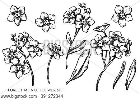 Vector Set Of Hand Drawn Black And White Forget Me Not Flower Stock Illustration