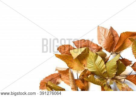 Dry Leaves Of Chestnut Tree Isolated On White.