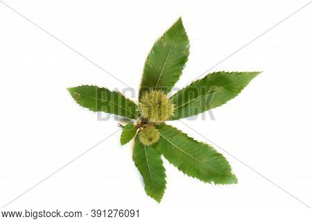 Green Leaves Of Chestnut With Curls Isolated On White