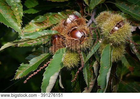 Open Hedgehog With Chestnuts Inside Hanging On A Tree In A Forest In Tuscany, Italy.