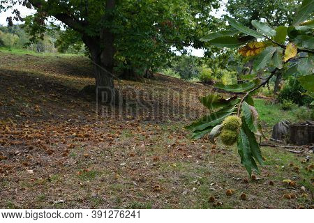 Green Hedgehogs On The Chestnut Branch Tree