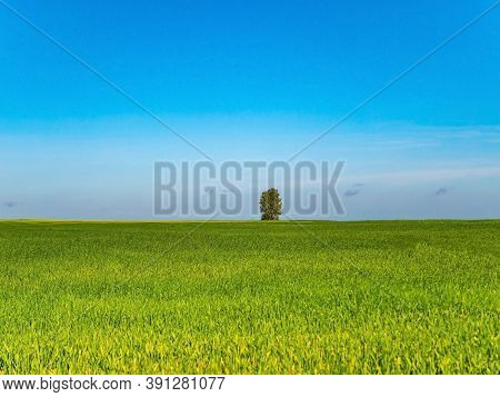 A Lonely Tree On A Green Winter Field. Lonely Tree. Farm Field Of Winter Crops. Agriculture. Farming