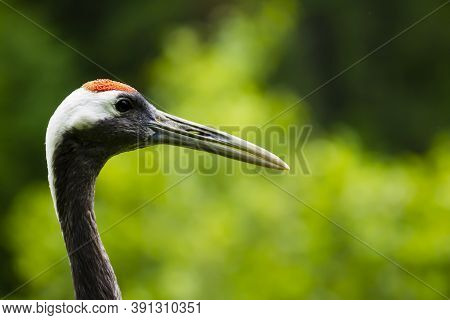 Portrait Of A Red-crowned Crane. Symbol Of Luck, Longevity And Fidelity, Is One Of The Rarest Crane