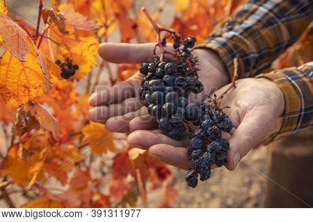 Natural Raisins From The Vineyards Of Campo De Borja, Near The Small Town Of Magallon, Aragon, Spain
