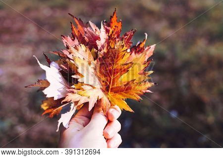Bouquet Of Colorful Autumn Maple Fallen Leaves In Woman Hand. Bright Red And Orange Fall Scene Backg