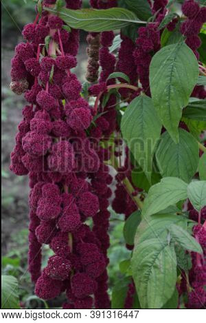 Amaranth Is Cultivated As Leaf Vegetables, Cereals And Ornamental Plants .