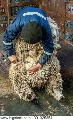 Riesco Island, Chile - December 12, 2008: Posada Estancia Rio Verde Working Farm. Closeup Of Sheep S