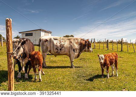 Riesco Island, Chile - December 12, 2008: Posada Estancia Rio Verde Working Farm. Brown-white Bull,