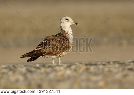 Southern Black-backed Gull - Larus Dominicanus - Karoro In Maori, Also Known As Kelp Gull Or Dominic