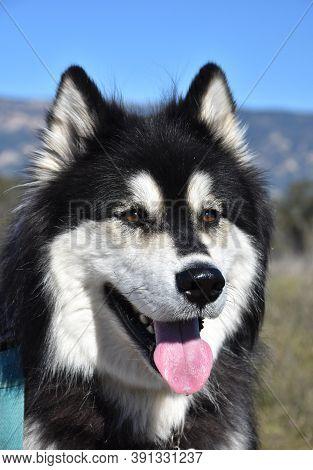 Beautiful Black And White Fluffy Alaskan Malamute Dog.