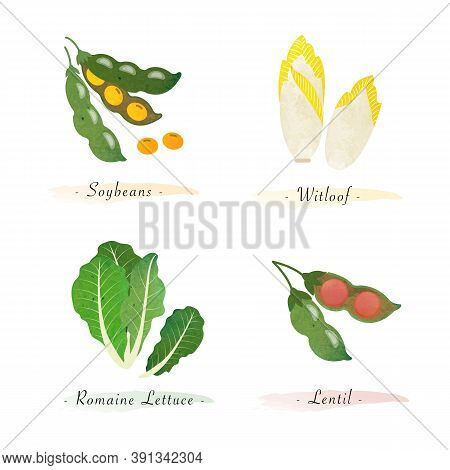 Watercolor Healthy Nature Organic Plant Vegetable Food Ingredient Soybeans Witloof Romaine Lettuce L