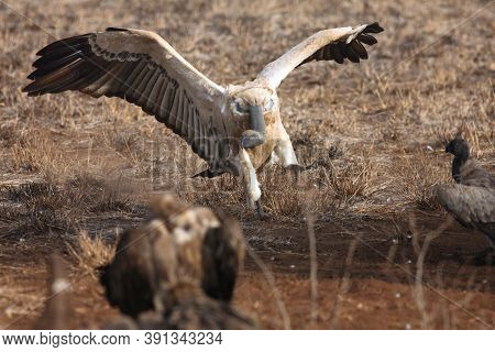 The Cape Griffon Or Cape Vulture (gyps Coprotheres) Landing At Prey In The Savannah On The Plains